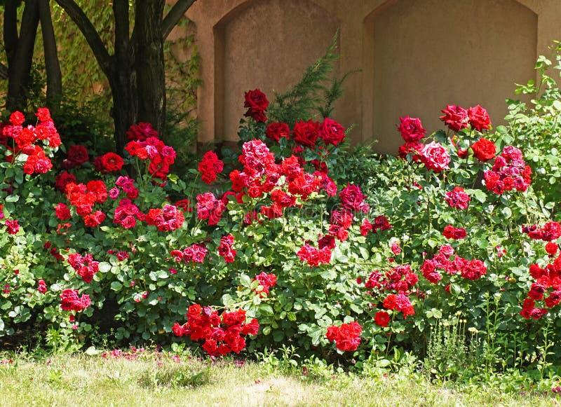 Кусты роз в саде стоковые фотографии rf