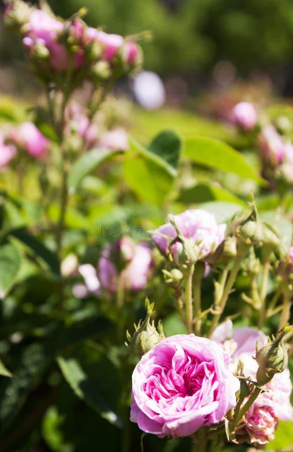 Кусты роз стоковое изображение
