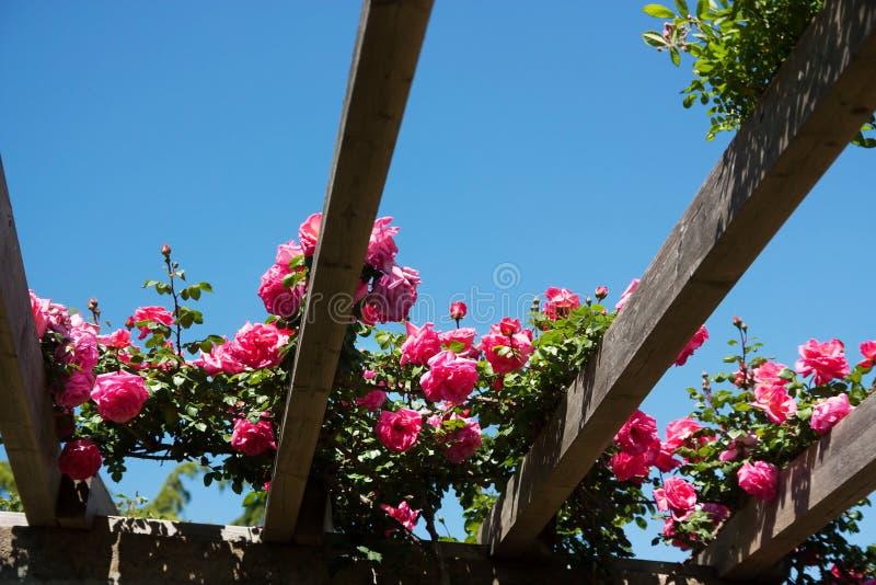 Кусты роз стоковая фотография rf
