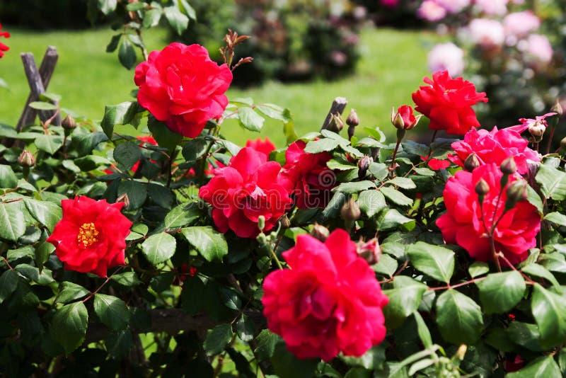 Кусты роз стоковая фотография