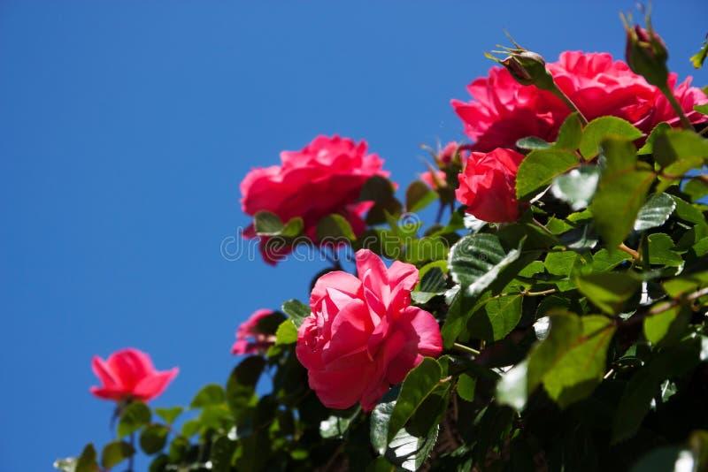 Кусты роз стоковое изображение rf