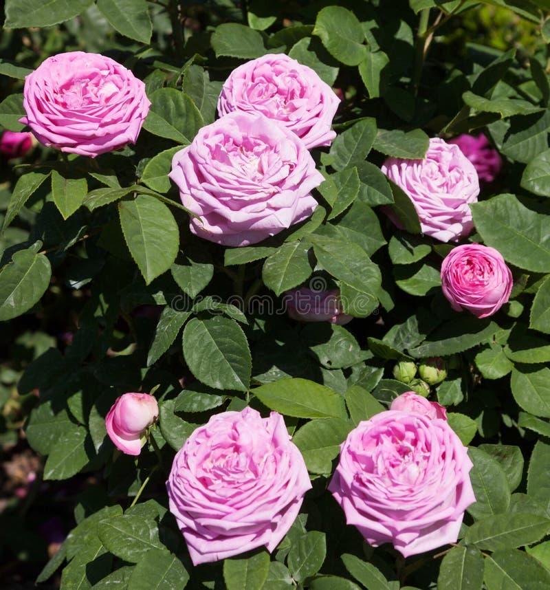 Кусты роз стоковые фото