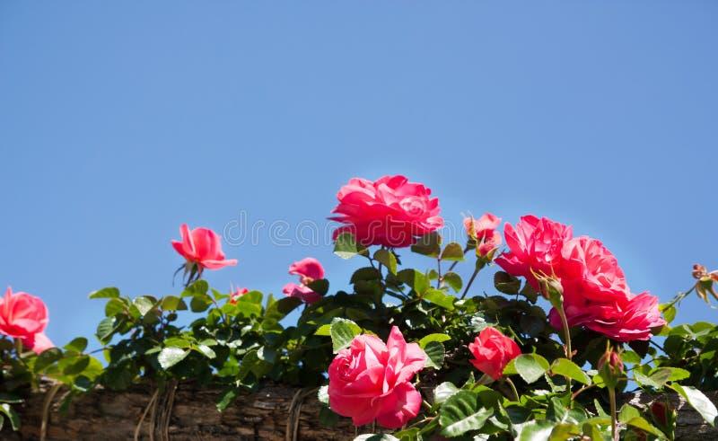 Кусты роз стоковое фото