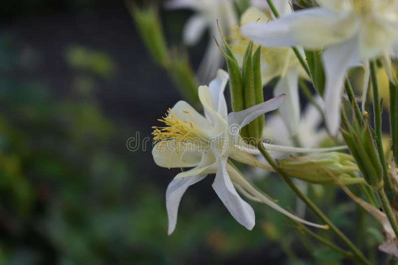 Кусты цветков Aquilegia в свете стоковое изображение rf
