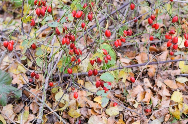 Куст бедер со зрелыми ягодами Ягоды dogrose на кусте Плоды диких роз Терновое dogrose E стоковые изображения