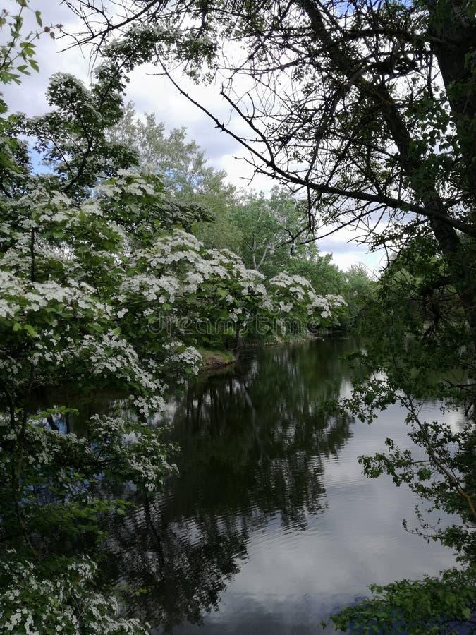 Куст боярышника весной стоковые фото