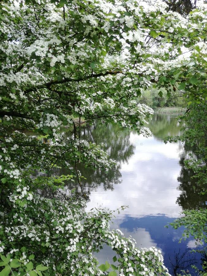 Куст боярышника весной стоковое изображение rf
