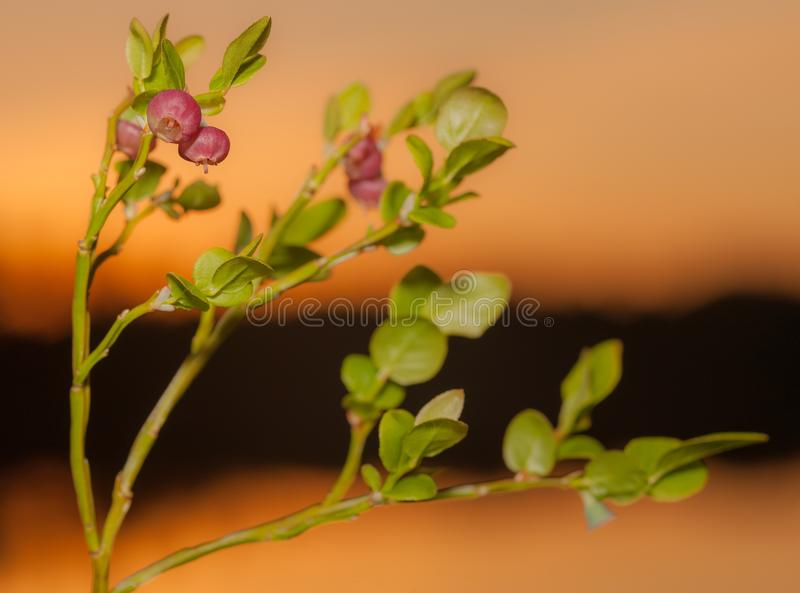 Куст голубики с незрелыми ягодами стоковая фотография rf