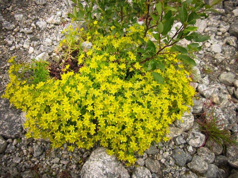 Куст желтых полевых цветков стоковая фотография rf