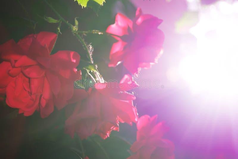 Куст клубник при красные зрелые ягоды в саде и сжатый урожай стоя рядом с в чашкой стоковые изображения rf