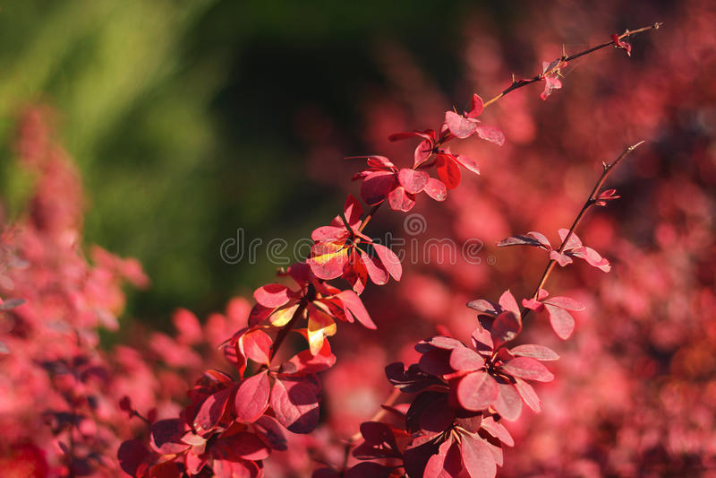Куст красного цвета осени стоковые изображения