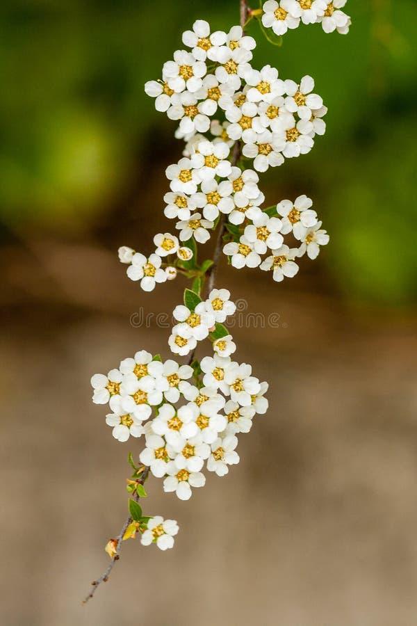 Куст макроса малых белых цветков на ветви стоковая фотография rf