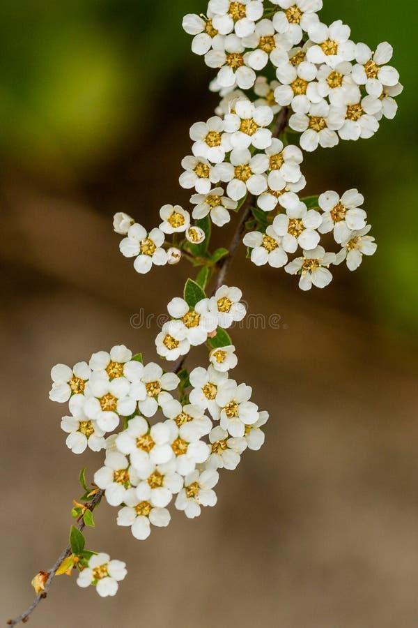 Куст макроса малых белых цветков на ветви стоковая фотография