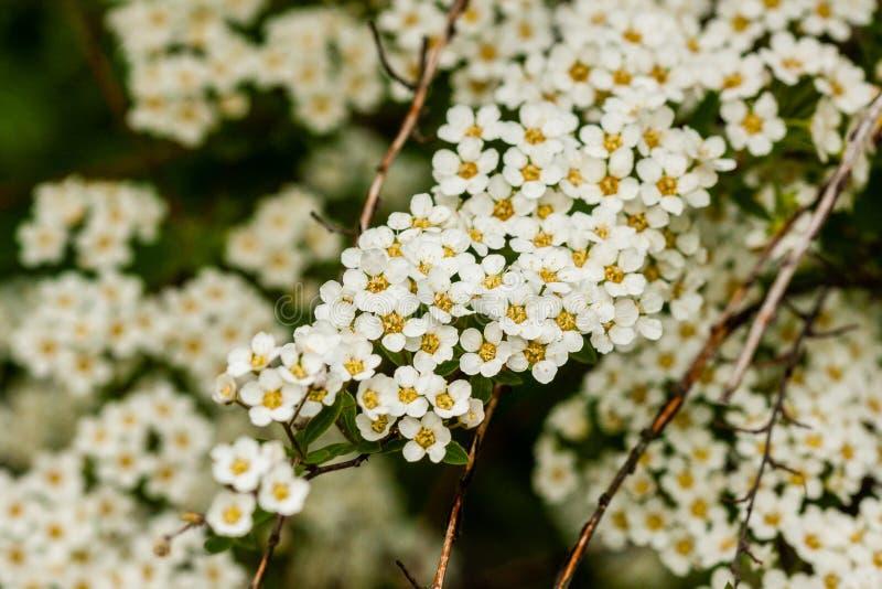 Куст макроса малых белых цветков на ветви стоковое фото rf