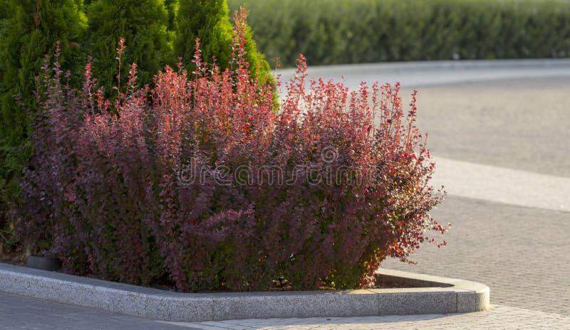 Куст осени барбариса с красным цветом выходит крупный план стоковые изображения