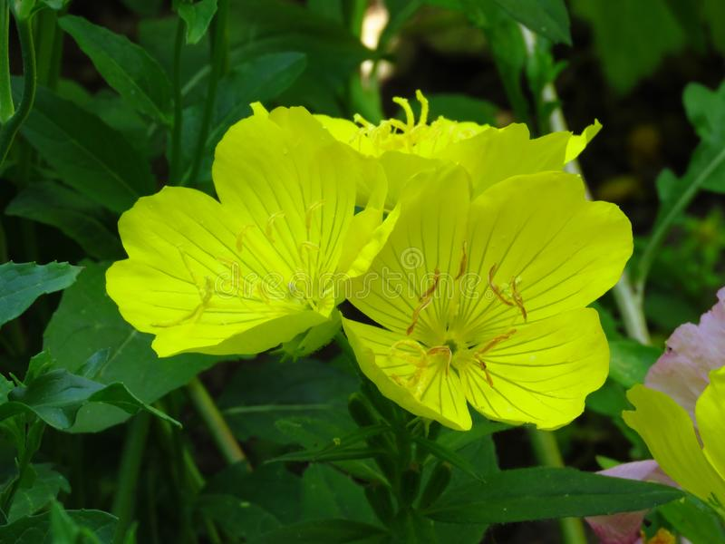 """Куст падений Солнца fruticosa энотеры """"разваливаясь желтый #perennial зацветает все лето стоковое изображение"""
