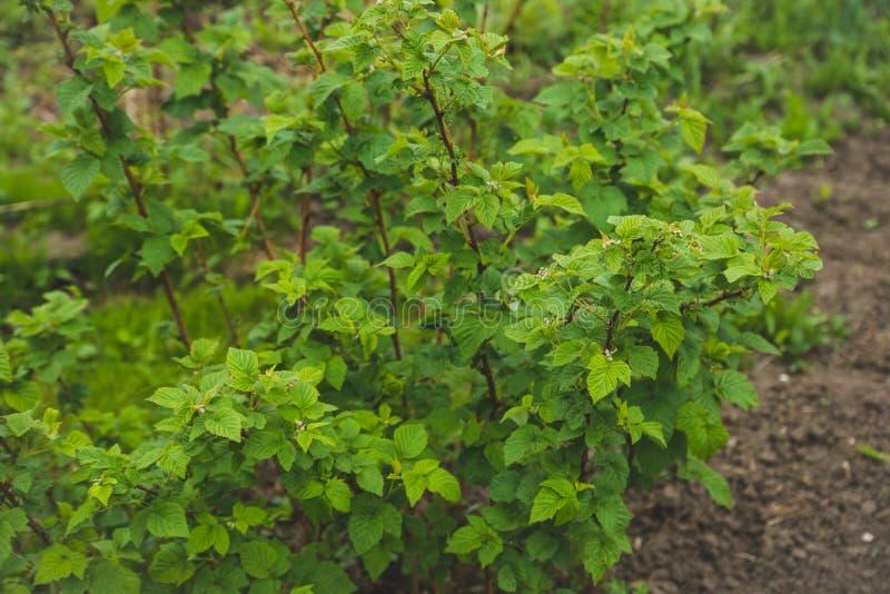 Куст поленики в саде стоковая фотография rf