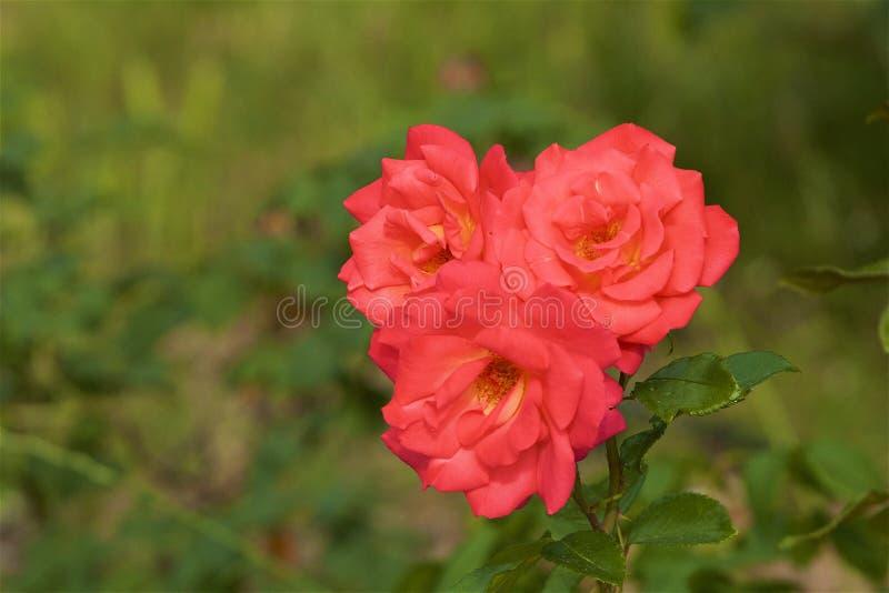 Куст роз в ботаническом саде стоковые фотографии rf
