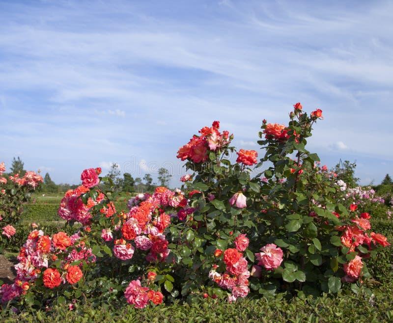 Куст роз стоковые изображения