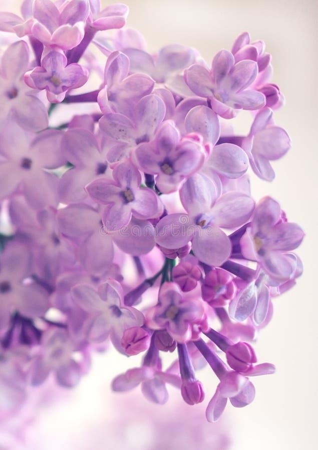 Куст сирени полевых цветков стоковые изображения rf