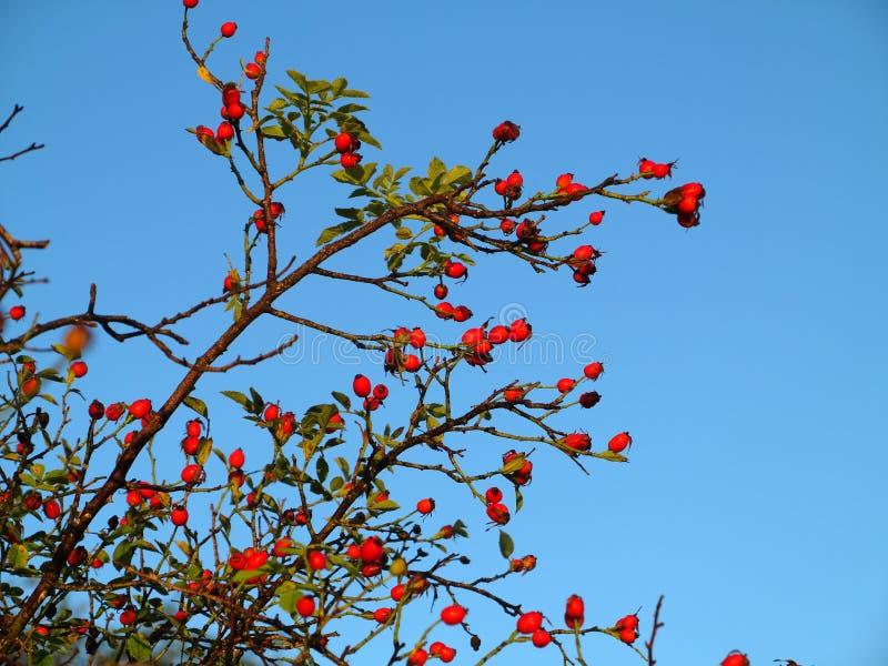 Куст ягоды розового бедра на голубом небе стоковое изображение rf