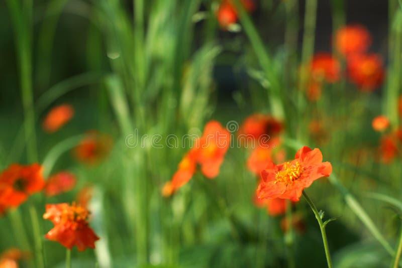 Куст ярких красных цветков на солнечный летний день стоковые изображения rf