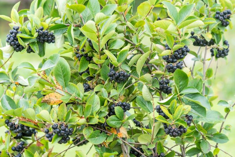 Куст melanocarpa Chokeberry или Aronia Органическая и вегетарианская еда стоковая фотография