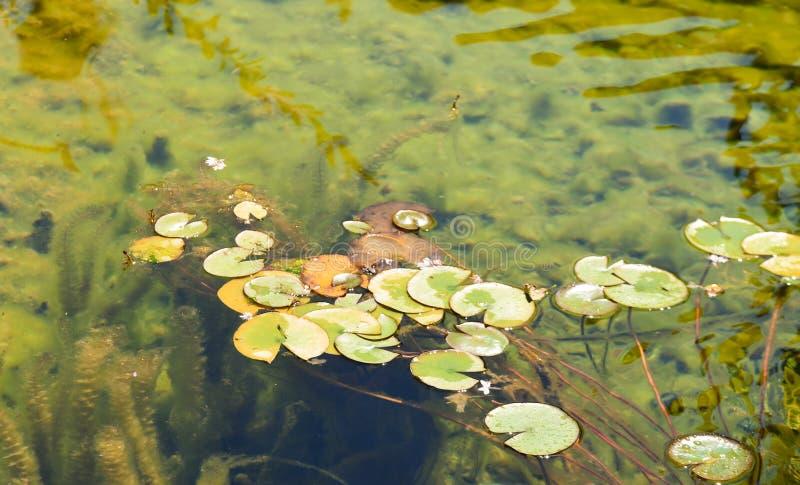 Куча пусковых площадок лилии плавая на спокойную воду в дневном свете стоковая фотография rf