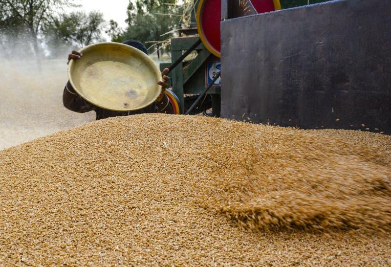 Куча пшеницы & пшеницы сбора стоковые изображения
