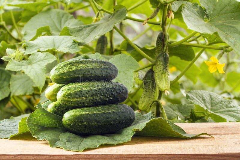 Куча свежих органических корнишонов на деревянном столе на зеленом огурце выходит таблица сада деревянная Естественные овощи для  стоковое фото