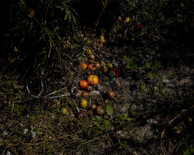 Куча тухлых перерастанных веденных плохих томатов на грязной земле в лесе стоковое фото