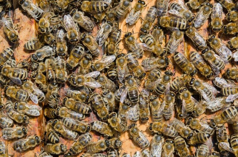 Кулига пчел стоковая фотография