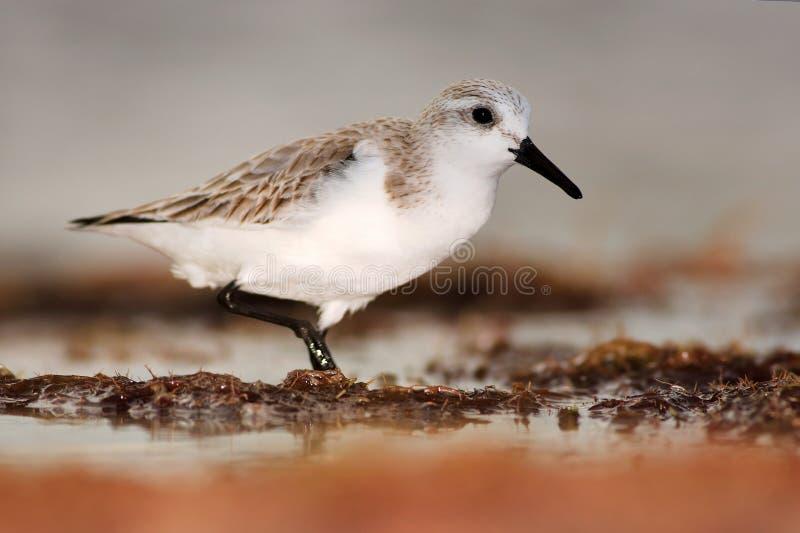 Кулик Semipalmated, pusilla Calidris, птица морской воды в среду обитания природы Животное на птице побережья океана белой в песк стоковые фотографии rf