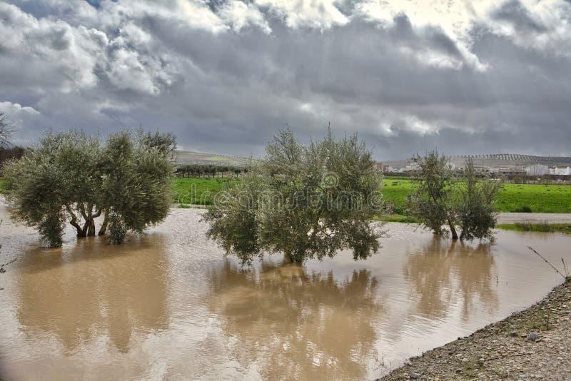 Культивирование оливковых дерев, затопленное проливными дождями стоковое изображение