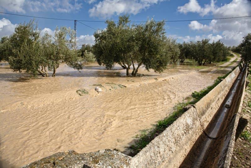 Культивирование оливковых дерев, затопленное проливными дождями, Испания стоковое фото