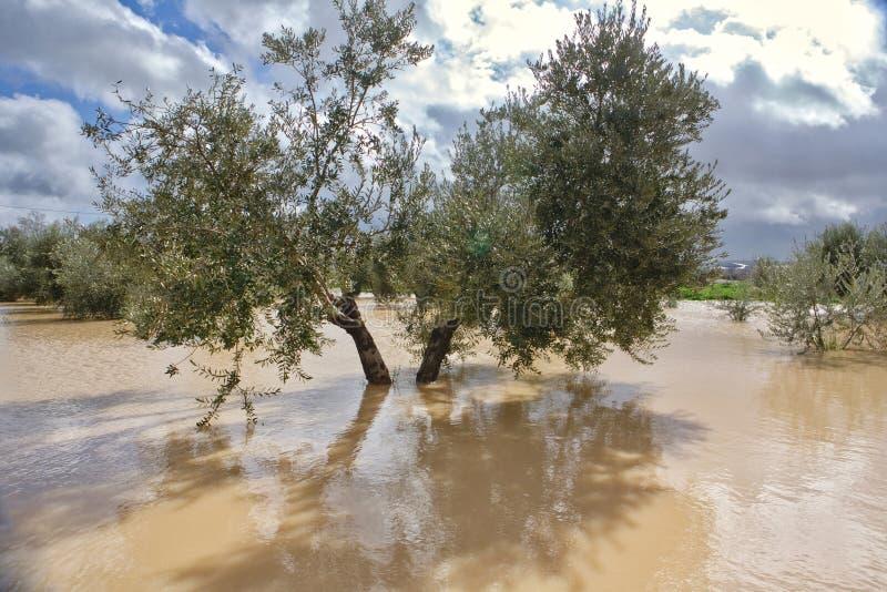 Культивирование оливковых дерев, затопленное проливными дождями, Испания стоковые фото
