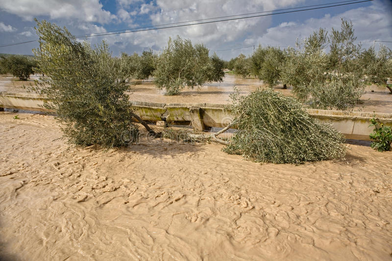 Культивирование оливковых дерев, затопленное проливными дождями стоковые фото