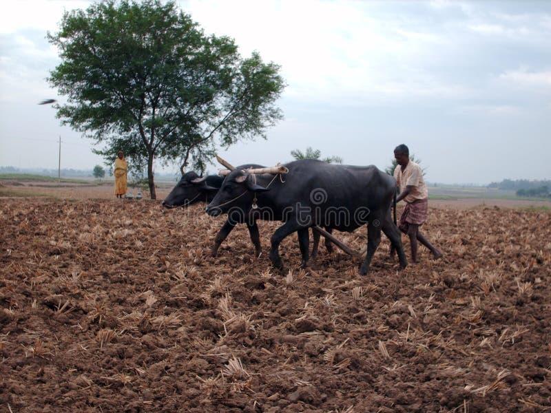 Культивирование с буйволом стоковые изображения