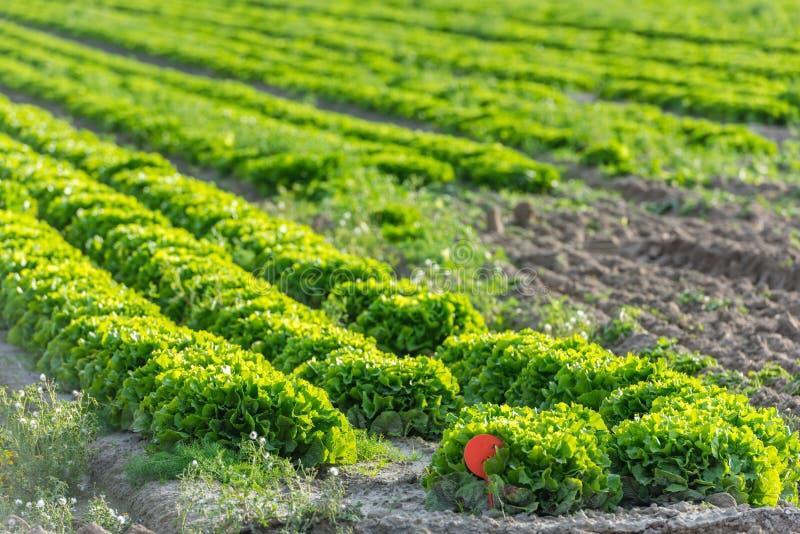 Культивируемое поле: свежие строки кровати зеленого салата стоковое фото rf