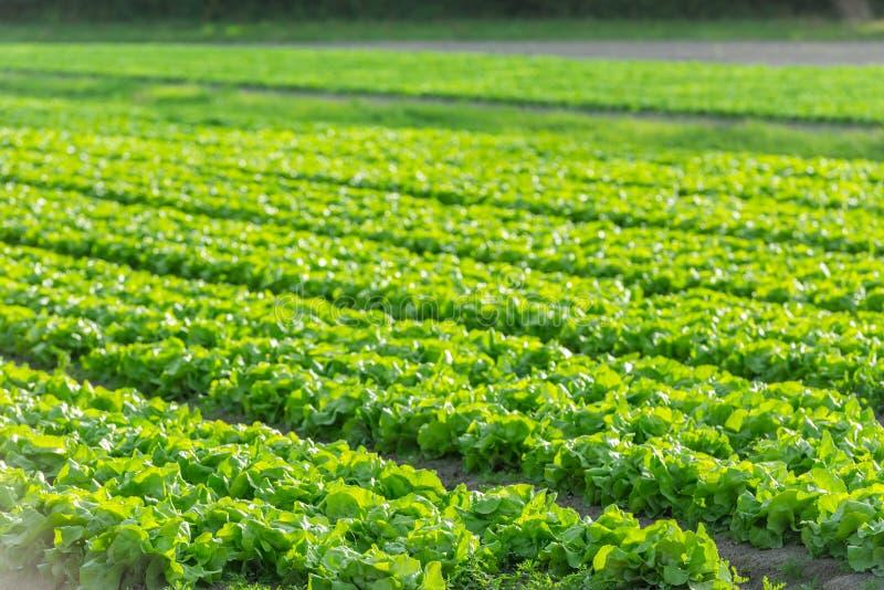 Культивируемое поле: свежие строки кровати зеленого салата стоковое изображение rf