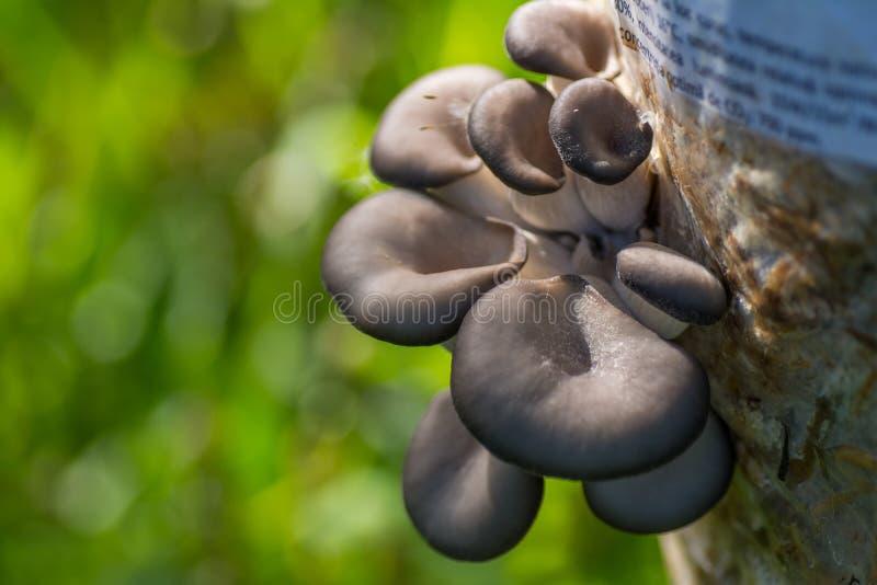 Download Культивируемые грибы устрицы Стоковое Изображение - изображение насчитывающей органическо, деталь: 40586739