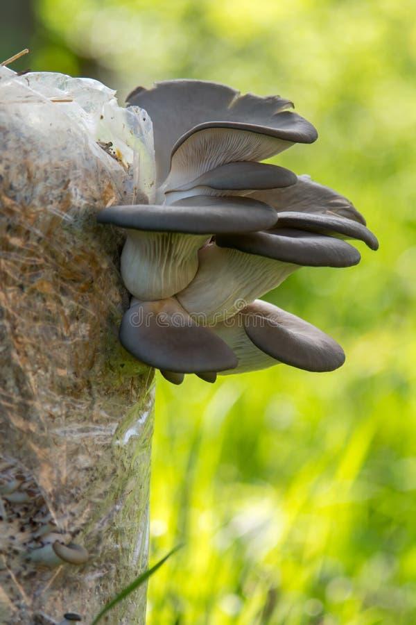 Download Культивируемые грибы устрицы Стоковое Изображение - изображение насчитывающей устрица, ингридиент: 40586743