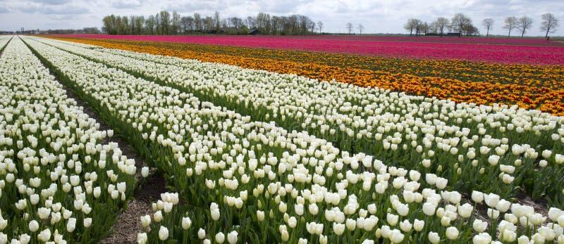 Культура тюльпана, Нидерланды стоковые фото