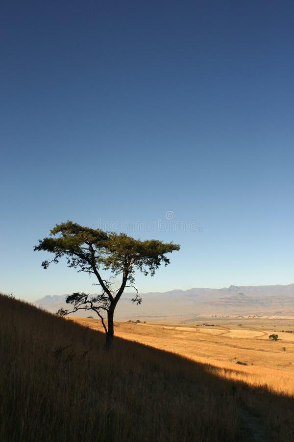 Классическая африканская акация на горном склоне с полями и горная цепь в расстоянии стоковое фото rf