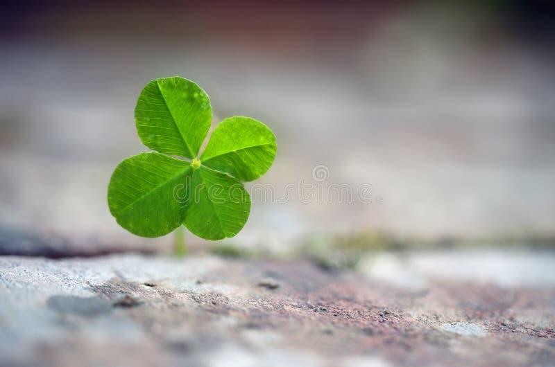 Клевер 4 лист растет между вымощая камнями, символом для везения, f стоковая фотография