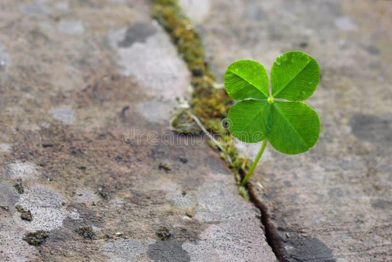 Клевер 4 лист растя в разделении между камнями, символе для l стоковое изображение rf