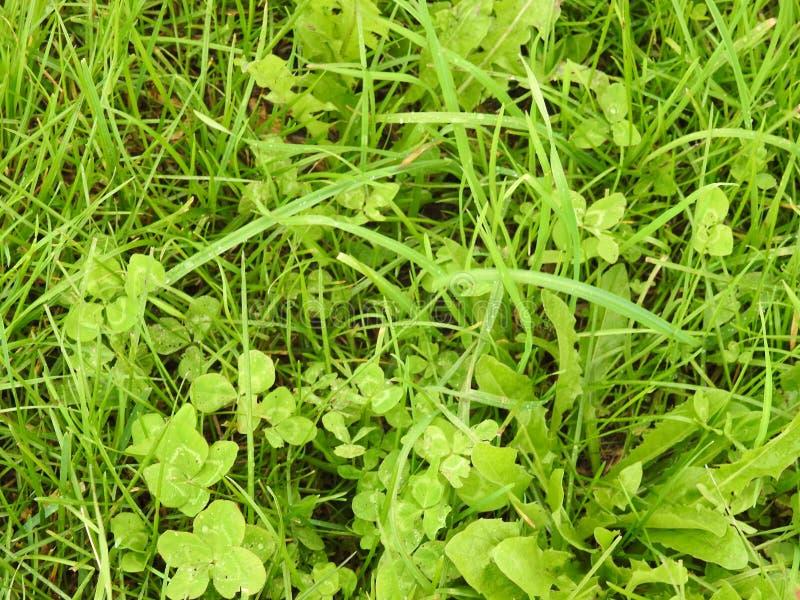 Клевер 4-лист спрятанный в этой траве fields, находит они! стоковое изображение