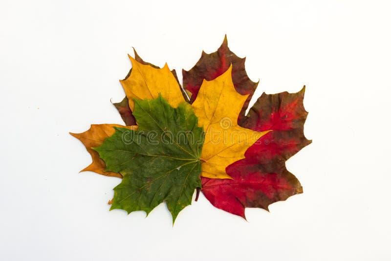 Кленовые листы на белой предпосылке стоковые изображения rf