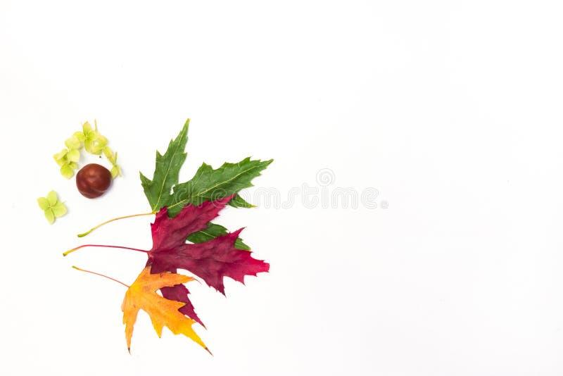 Кленовые листы на белой предпосылке стоковая фотография rf