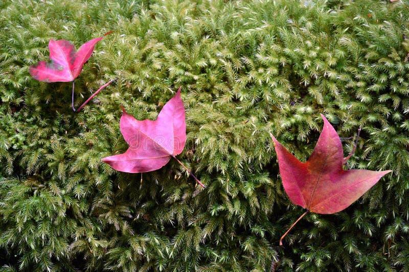 Кленовые листы падения стоковые изображения